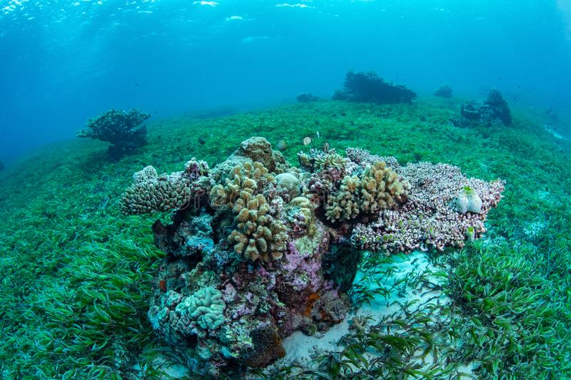 Seagrass bed and marine life in Wakatobi National Park, Indonesia. royalty free stock images