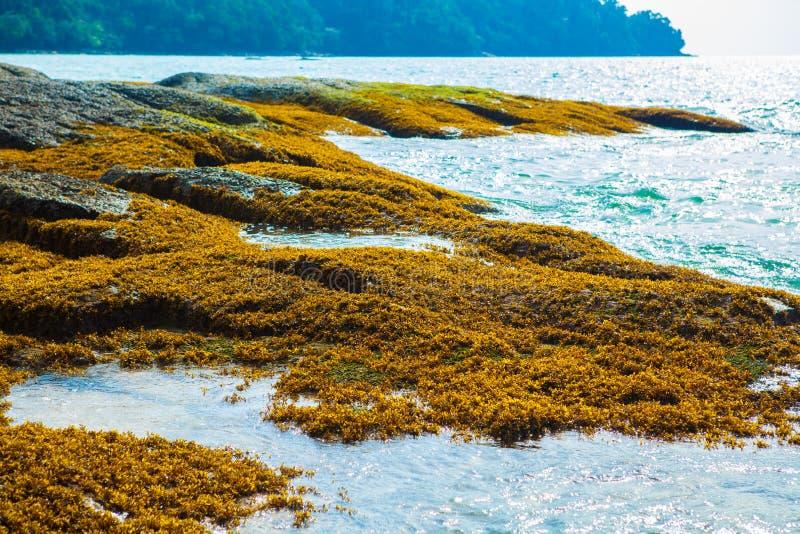 Seagrass op de rots, zeewier op de rots, mos, algen stock foto's