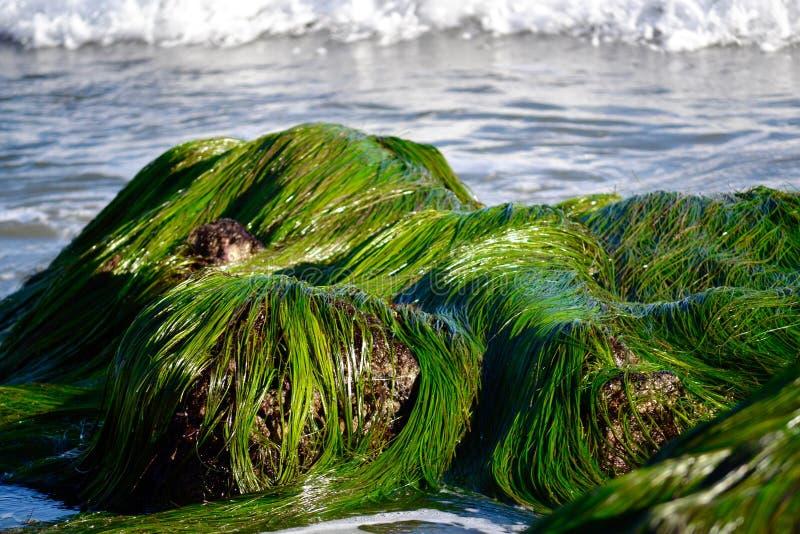 Seagrass op Rotsen in Oceaan stock afbeelding