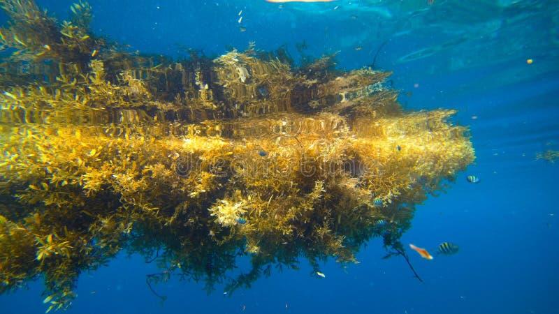 Sargassum seaweed, Raja Ampat, West Papua, Indonesia. Asia royalty free stock photography