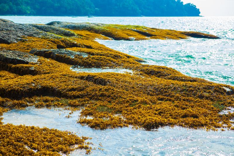 Seagrass sulla roccia, alga sulla roccia, muschio, alghe fotografie stock