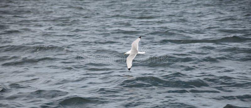 Seagul в заливе Tobermory стоковое фото rf