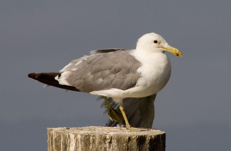 Seagul stockfotos