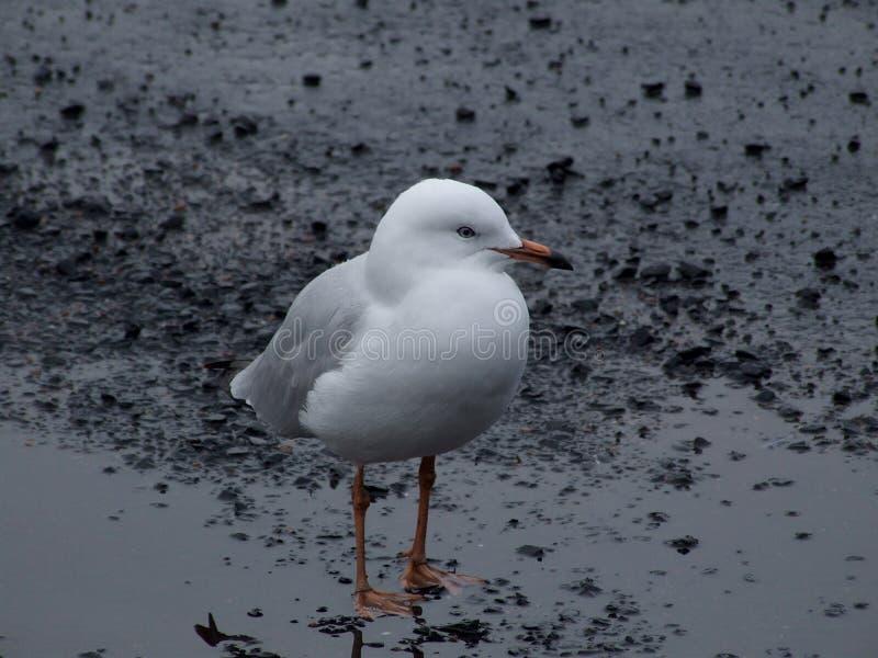 seagul στοκ φωτογραφία με δικαίωμα ελεύθερης χρήσης