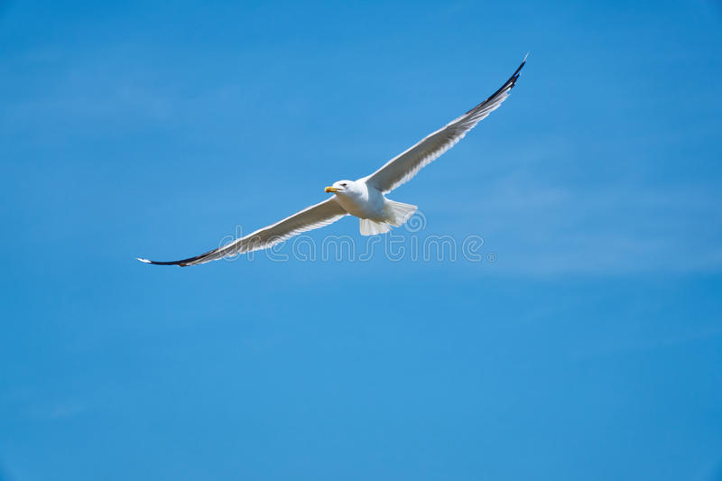 Download Seagul stock image. Image of flying, seagul, white, bird - 99108157