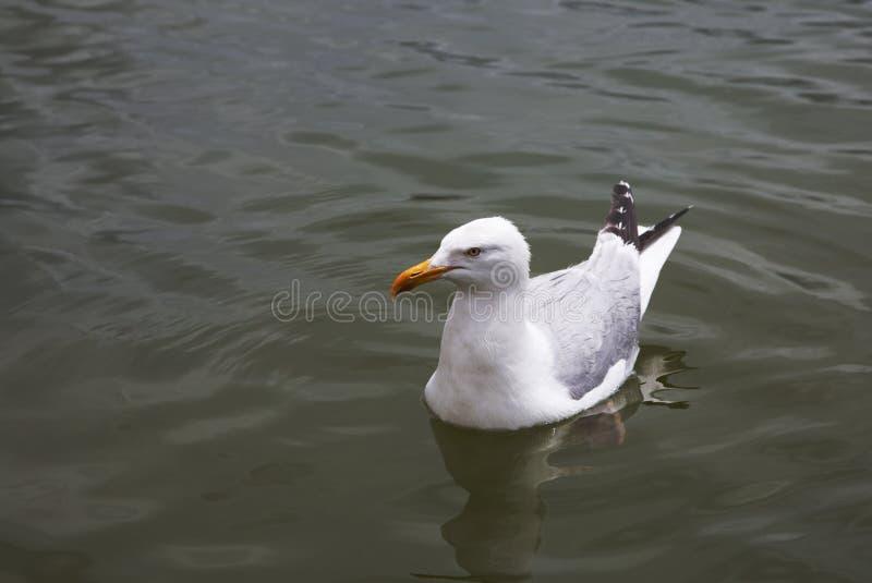 Seagul gliding on water