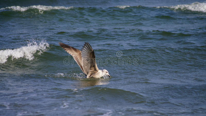 Seagul im Meer stockbilder