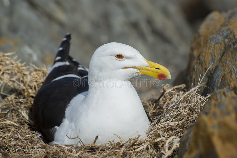 Seagul Nesting on Rocks. A seagull lies on her eggs in a rocky cravise by the coast royalty free stock photography