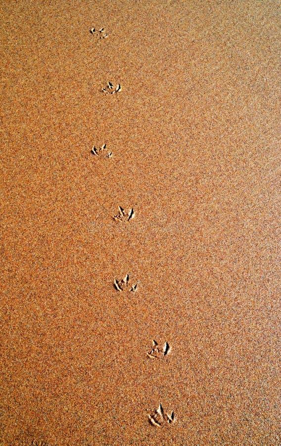 Seagul nożny druk na plażowym piasku obraz royalty free
