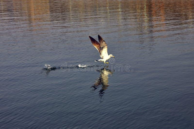 Seagull över fjärden royaltyfri foto