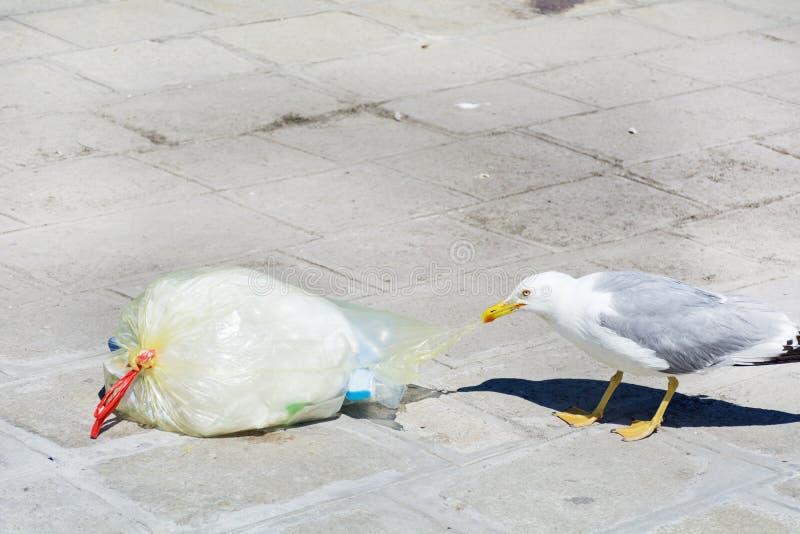 Seagull łasowanie od plastikowego worka na ulicie obraz stock