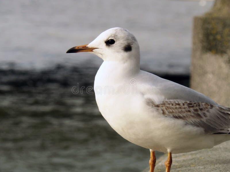 Seagull Άσπρο πουλί Λονδίνο στοκ φωτογραφία με δικαίωμα ελεύθερης χρήσης