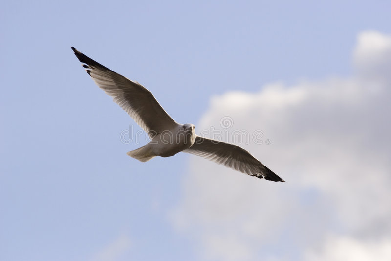 seagull ανύψωση στοκ φωτογραφία