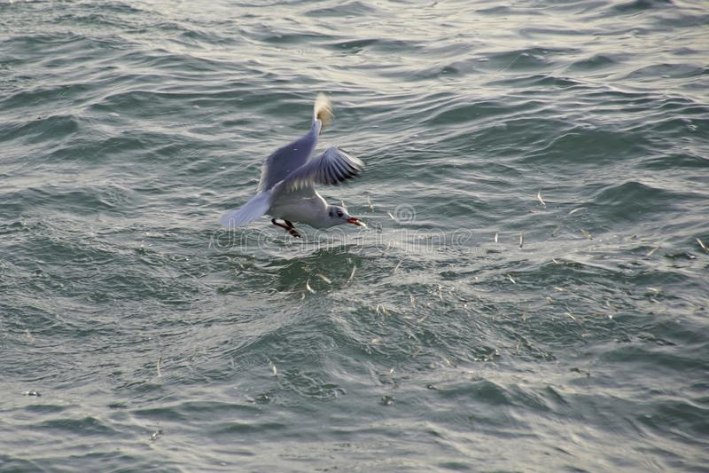Seagull επίασε τα ψάρια στα κύματα του ωκεανού Πουλιά στο κυνήγι Ένα κοπάδι των εκφοβισμένων ψαριών πηδά από το νερό στοκ εικόνα με δικαίωμα ελεύθερης χρήσης