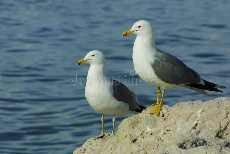seagull ζευγών στοκ φωτογραφίες