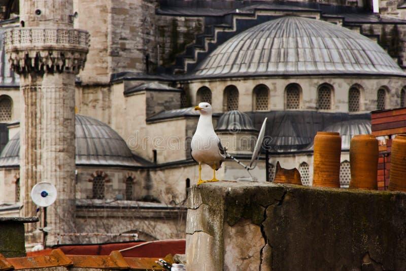 Seagull και μπλε μουσουλμανικό τέμενος, Κωνσταντινούπολη στοκ εικόνα