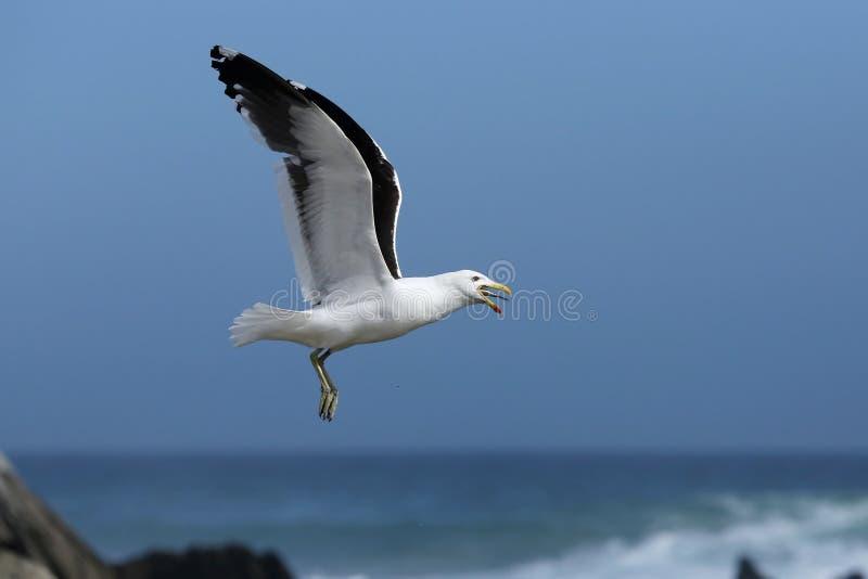 Seagull και ψάρια στοκ φωτογραφία