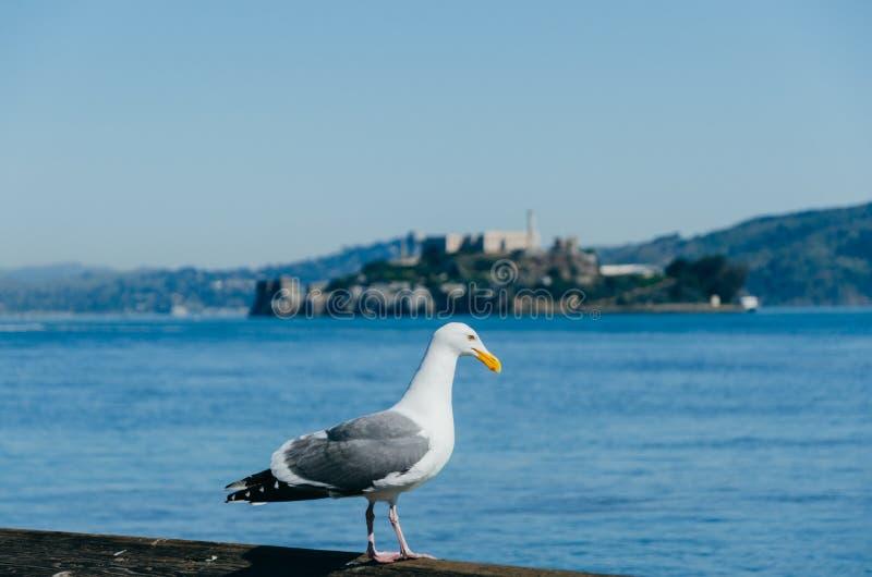 Seagull και Alcatraz στο υπόβαθρο στοκ φωτογραφία