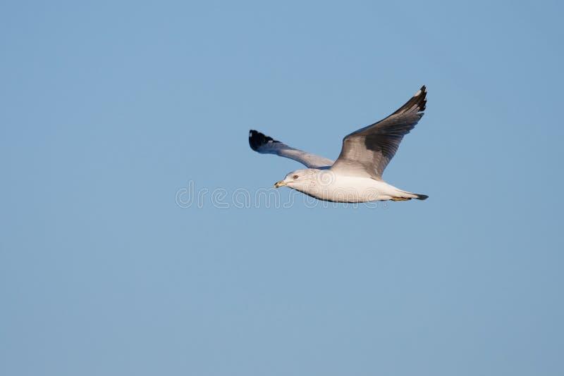 Seagull κατά την πτήση στοκ εικόνα με δικαίωμα ελεύθερης χρήσης