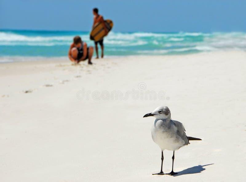 seagull κατσικιών στοκ φωτογραφία