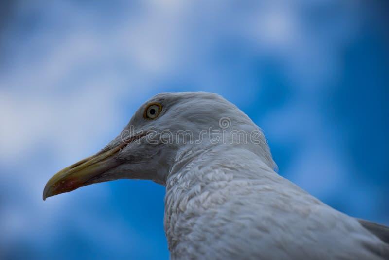 Seagull κεφάλι στοκ εικόνες με δικαίωμα ελεύθερης χρήσης