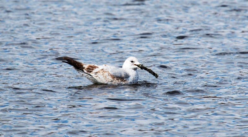 Seagull με ένα ραβδί στοκ εικόνα με δικαίωμα ελεύθερης χρήσης