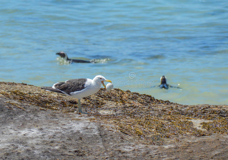 Seagull με το κλεμμένο αυγό Penguin στοκ εικόνα