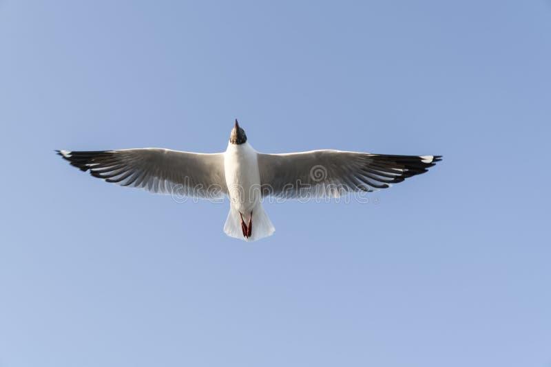 Seagull με το φτερό του που διαδίδεται πλήρως έξω στον ουρανό στοκ εικόνες