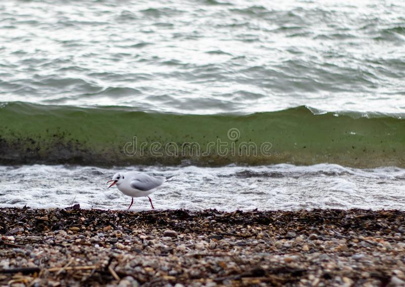 Seagull μπροστά από ένα κύμα στοκ εικόνες