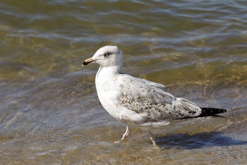 Seagull περπατά στα ρηχά νερά της θάλασσας στοκ φωτογραφίες με δικαίωμα ελεύθερης χρήσης