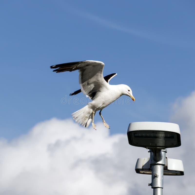 Seagull πλησιάζει το φανάρι φωτισμού στοκ εικόνα