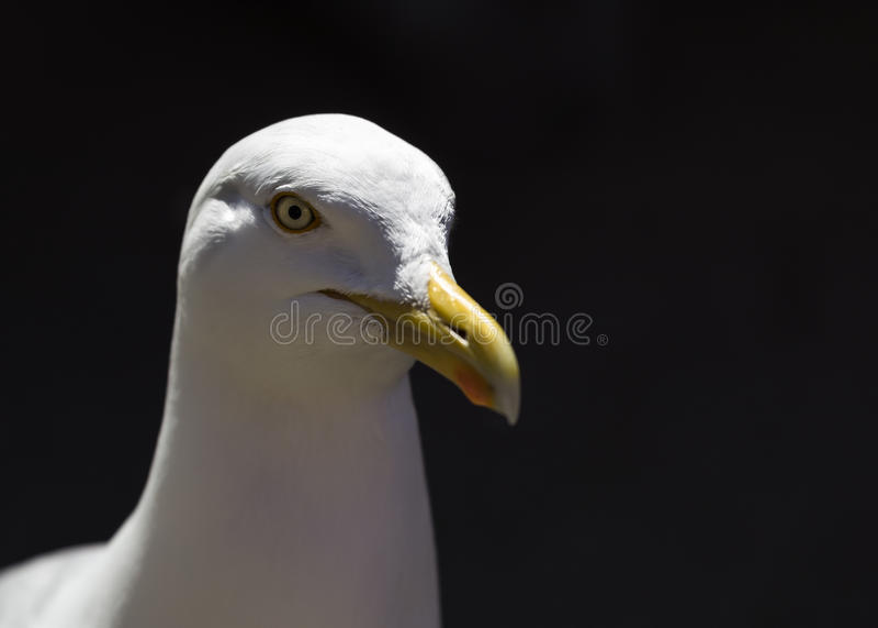 Seagull πορτρέτο - άγρια φύση στοκ φωτογραφίες