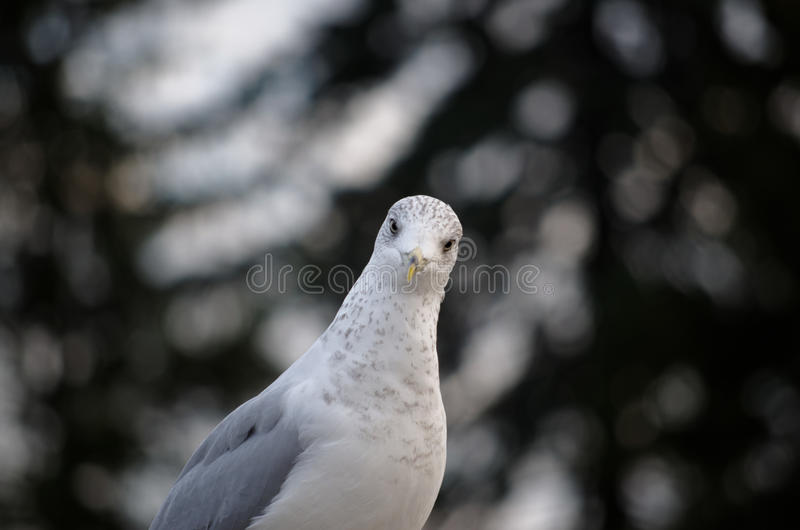 Seagull που εξετάζει δεξιά σας με το θολωμένο υπόβαθρο στοκ φωτογραφίες