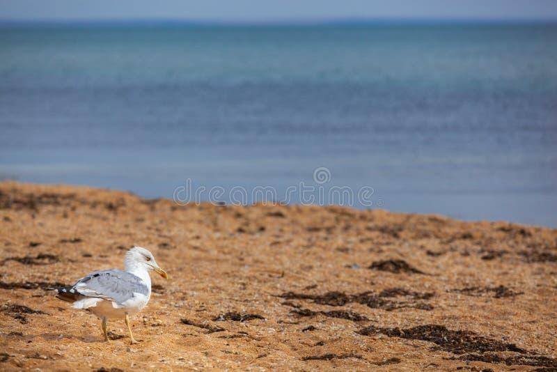 Seagull που περπατά από την ακροθαλασσιά στην αμμώδη παραλία στοκ φωτογραφία