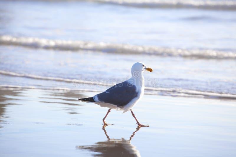 Seagull που περπατά κατά μήκος της ωκεάνιας ακτής στοκ εικόνες με δικαίωμα ελεύθερης χρήσης