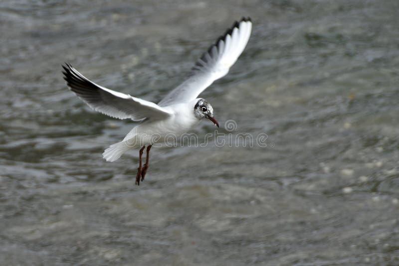 Seagull που πετά πέρα από τον ποταμό στοκ φωτογραφία με δικαίωμα ελεύθερης χρήσης
