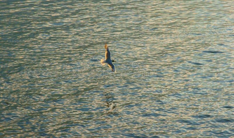 Seagull που πετά πέρα από τον ποταμό στοκ φωτογραφίες με δικαίωμα ελεύθερης χρήσης
