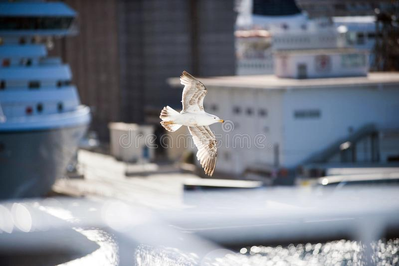 Seagull που πετά πέρα από το λιμάνι με το θολωμένο πορθμείο στοκ φωτογραφία