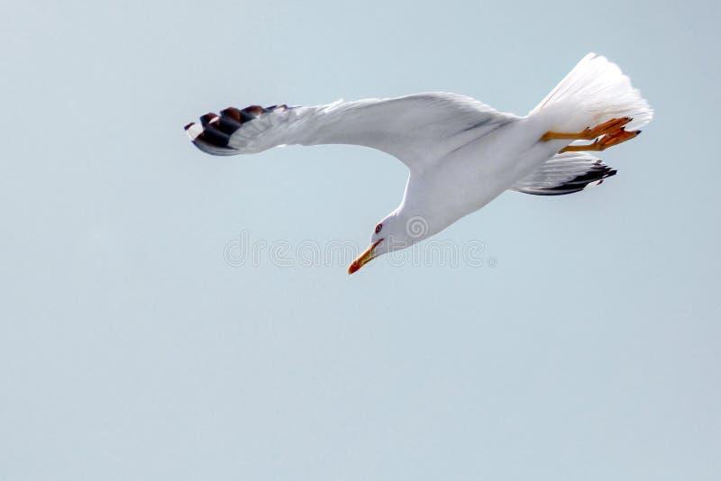Seagull που πετά σε έναν σαφή ανοικτό γκρι ουρανό, κατέβασμα στοκ εικόνα με δικαίωμα ελεύθερης χρήσης