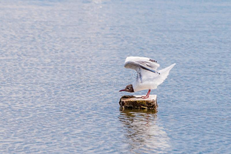 Seagull που πετά στα ύψη στην πτήση στοκ φωτογραφίες