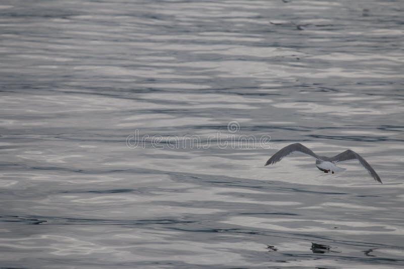Seagull που πετά στην εικόνα του ήρεμου ωκεανού απεικόνισης μολύβδου γκρίζου στοκ φωτογραφίες με δικαίωμα ελεύθερης χρήσης