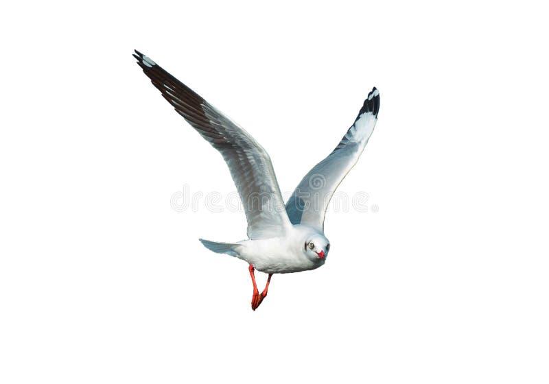 Seagull που πετά στο άσπρο υπόβαθρο που απομονώνεται ελεύθερη απεικόνιση δικαιώματος