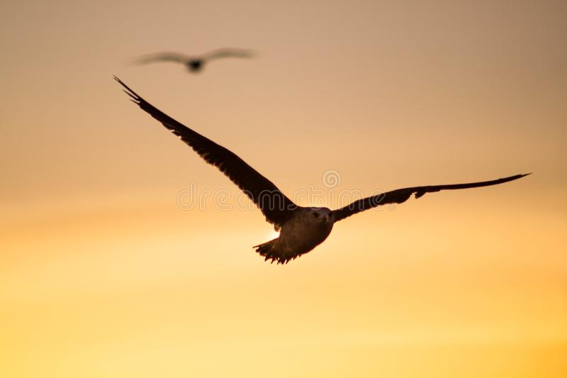 Seagull που πετά στο ηλιοβασίλεμα στοκ φωτογραφία με δικαίωμα ελεύθερης χρήσης