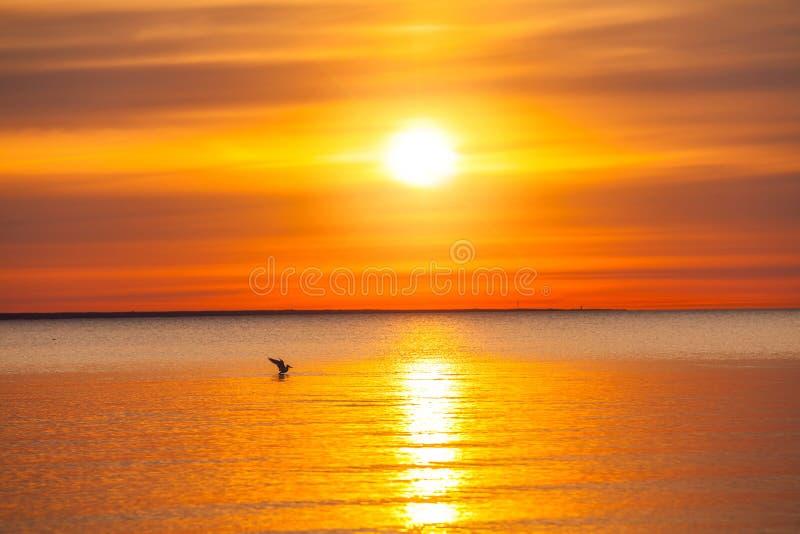 Seagull που πιάνει τα ψάρια στη θάλασσα της Βαλτικής στοκ εικόνα