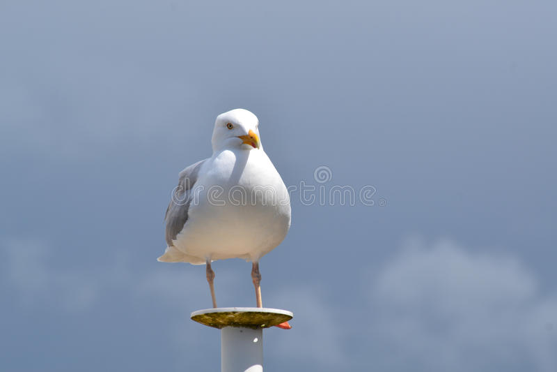 Seagull που στέκεται σε έναν στυλοβάτη στοκ εικόνα