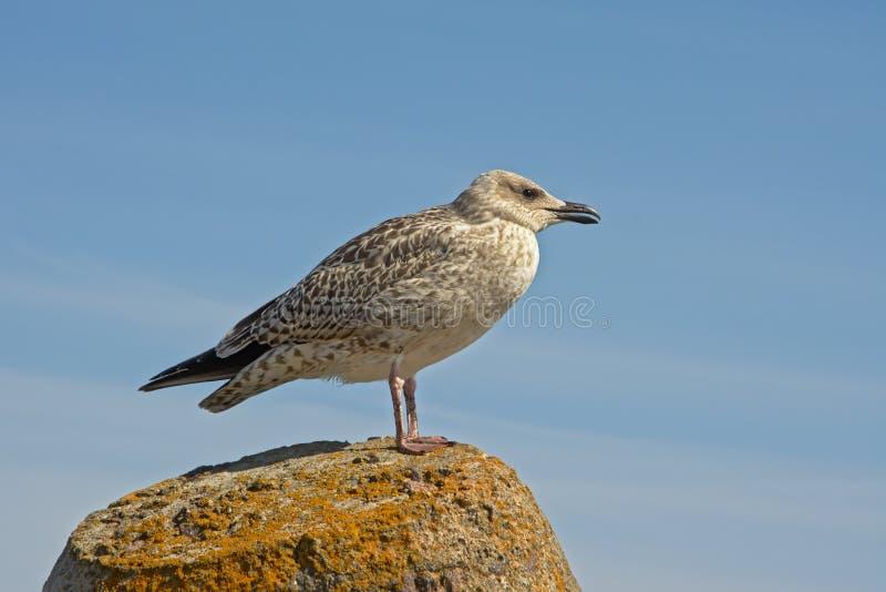 Seagull που στέκεται σε μια συγκεκριμένη πρόσδεση bollardy - laridae στοκ φωτογραφία με δικαίωμα ελεύθερης χρήσης