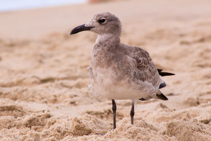 Seagull που στέκεται στην άμμο στοκ εικόνα με δικαίωμα ελεύθερης χρήσης