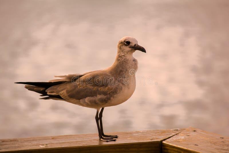 Seagull που στηρίζεται σε μια αποβάθρα στοκ εικόνες