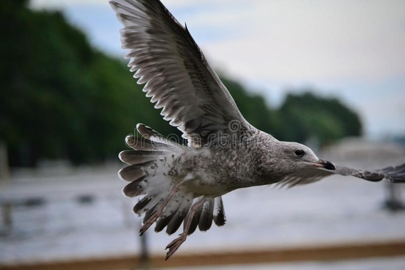 Seagull που ψάχνει τη λίμνη που ψάχνει τα τρόφιμα στοκ φωτογραφίες