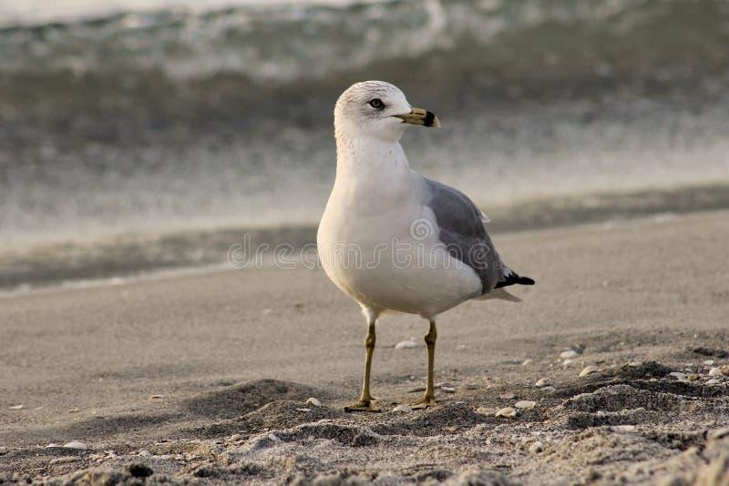 Seagull προσέχει στοκ εικόνα
